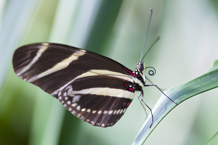 Zebra Longwing Butterfly, (Heliconius Charitonius), Perched On A Leaf, Close-Up