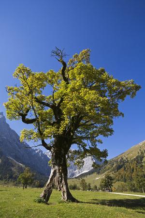 Austria, Tirol, Karwendel, Field Maple Tree