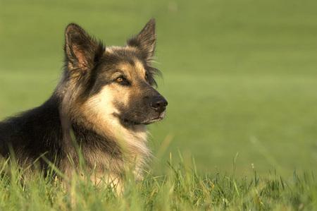 German Shepherd (Alsatian)