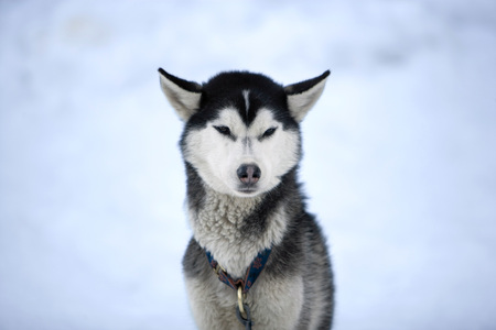 Siberian Husky, Portrait