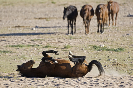 Africa, Namibia, Aus, Horse Lying In Dirt, Scratching Back LANG_EVOIMAGES