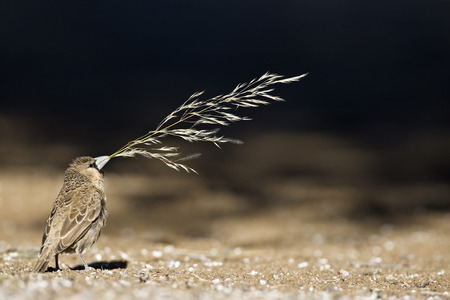 Africa, Namibia, Sociable Weaver (Philetairus Socius) With Grass In Beak For Building Its Nest