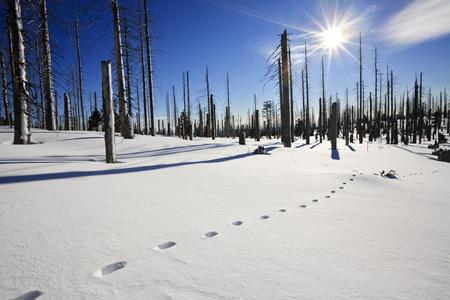 Germany,Bavarian Forest,Lusen,Snowscape,Forest Dieback,Footprints In Snow