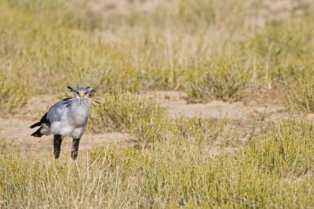 Africa, Namibia, Secretary Bird (Sagittarius Serpentarius) In Grass