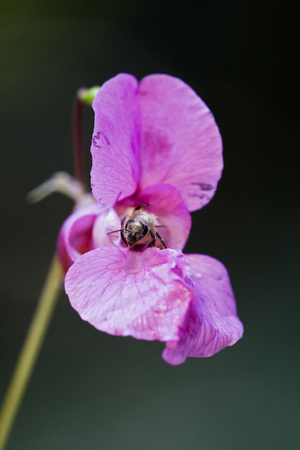 Ornamental Jewelweed (Impatiens Glandulifera) And Bee,Close-Up