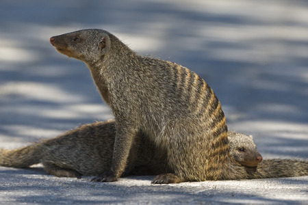 Africa, Namibia, Yellow Mongoose (Cynicitis Penicillata), Grooming LANG_EVOIMAGES