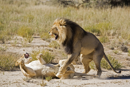 Africa, Namibia, Lioness (Panthera Leo) And Lion