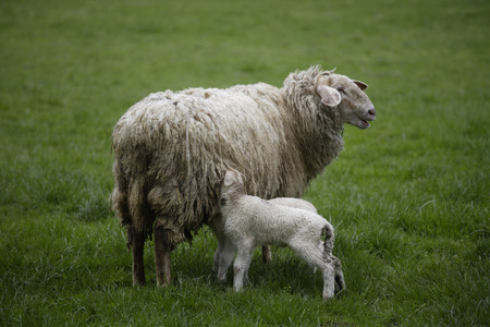 Germany, Bavaria, Ebenhausen, Sheep (Ovis Orientalis Aries), Female And Lamb LANG_EVOIMAGES