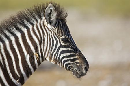 Africa, Zebra (Equus Quagga Burchelli), Portrait