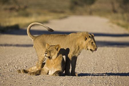 Couple Of Lions (Panthera Leo)