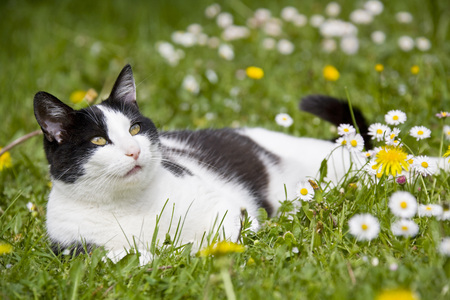 Cat Lying On Flowering Meadow LANG_EVOIMAGES