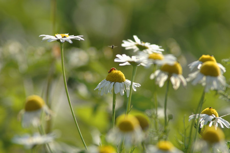 Camomile Flowers,Close Up LANG_EVOIMAGES