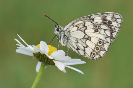 Échiquier papillon (Melanargia Galathea) sur fleur