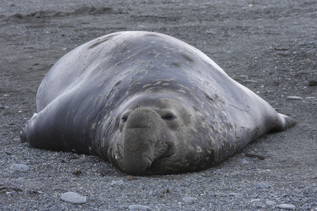 South Georgia, Elephant Seal Resting On Shore
