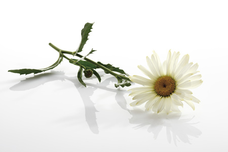 shasta daisy: Marguerite (Leucanthemum Maximum) LANG_EVOIMAGES