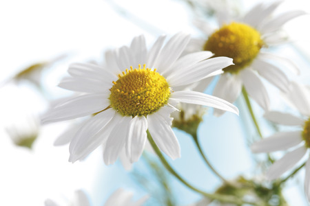 Camomile Flowers, Close-Up