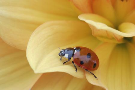 Seven-Spotted Ladybird (Coccinella Septempunctata) On Flower