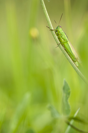 Grashopper (Chorthippus Parallelus) Sitting On Blade Of Grass,Close-Up