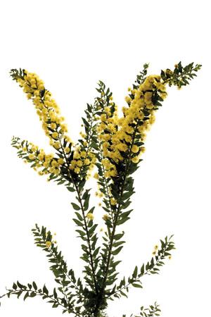 Hedge Wattle, Kangaroo Thorn (Acacia Armata, Acacia Paradoxa), Flowering Twig