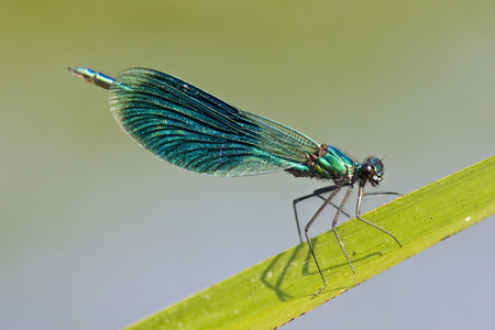 Dragonfly (Calopteryx Splendens), On Leaf, Close-Up