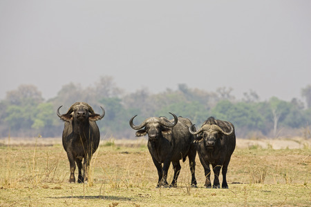 Africa, Sambia, Buffalo (Syncerus Caffer) On Plain