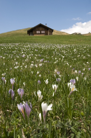 Italy, South Tyrol, Meadow Saffron (Colchicum Autumnale) Abloom