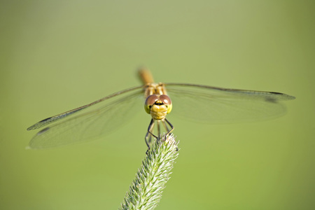 Dragonfly (Sympetrum) On Grass