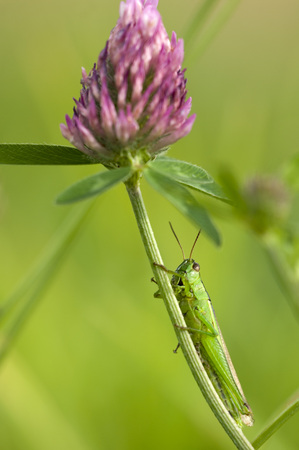trifolium: Grasshopper (Chorthippus Parallelus) Sitting On Red Clover (Trifolium Pratense),Close-Up