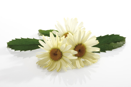 shasta daisy: Marguerites (Leucanthemum Maximum) LANG_EVOIMAGES