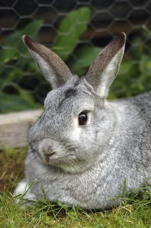 Grey Rabbit, Close-Up LANG_EVOIMAGES