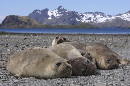South Georgia, Elephant Seals Resting On Shore LANG_EVOIMAGES