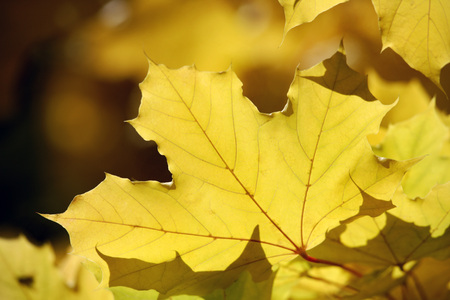 Germany, Bavaria, Norway Maple Leaves (Acer Platanoides L.), Close Up