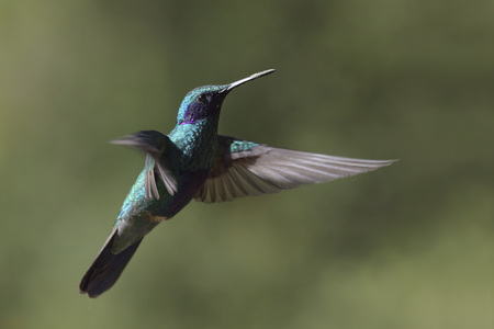 Ecuador, Hacienda Manteles, Colibrí (Trochilidae), primer plano