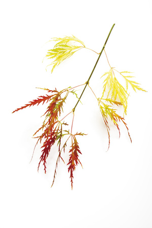 Twig Of Japanese Maple (Acer Palmatum Dissectum), Close-Up