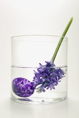 Hyacinths In Flower Vase, (Hyacinthus) LANG_EVOIMAGES