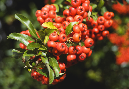 Rowan Berries (Sorbus Aucuparia), Close Up