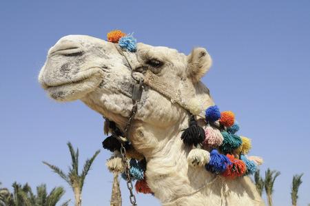 Egypt, Portrait Of Camel In Full Head Dress, (Camelus Dromedarius) LANG_EVOIMAGES