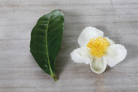 Tea Plant (Camellia Sinensis),Leaf And Blossom,Elevated View