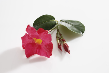 dipladenia: Dipladenia Flower (Mandevilla) And Leaves