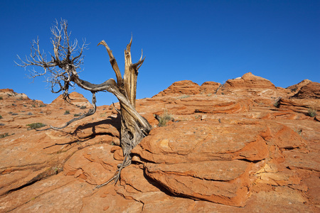 Usa,Utah,North Coyote Buttes,Dead Tree Against Blue Sky LANG_EVOIMAGES