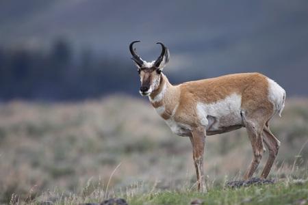Usa,Yellowstone Park,Pronghorn Bock (Antilocapra Americana) LANG_EVOIMAGES