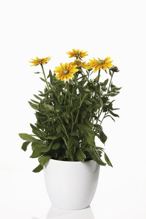 Shining Coneflowers (Rudbeckia Nitida) In Flower Pot