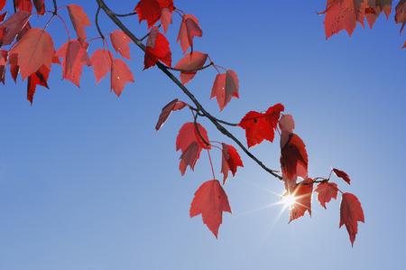 Usa, New England, Maple Leaves Against Blue Sky