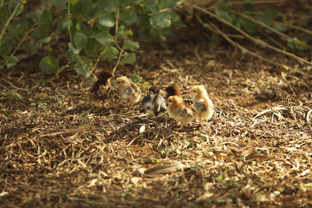 Germany, Poults In Enclosure
