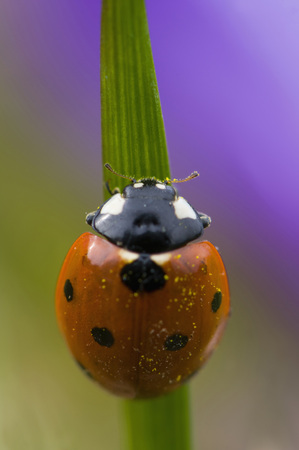 Germany,Baden Wã¼Rttemberg,Ladybird (Coccinela Septumpunctata) On Blade Of Grass,Close-Up LANG_EVOIMAGES
