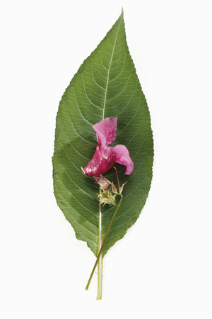 Himalayan Balsam Flower (Impatiens Glandulifera),Elevated View LANG_EVOIMAGES
