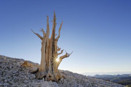 Usa,California,Bristleocne Pine (Pinus Longaeva) In Landscape