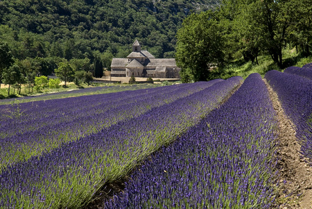 France, Provence, Sã©Nanque Abbey, Lavender Fields In Foreground