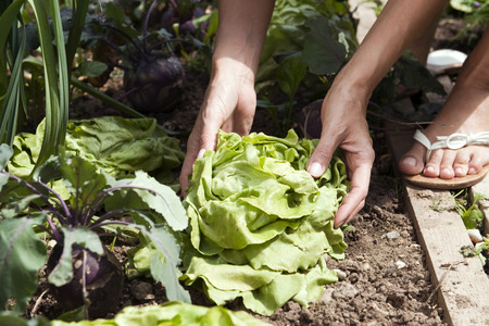 Germany,Bavaria,Person Picking Lettuce,Detail