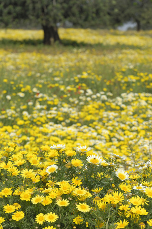 Spain, Mallorca, Meadow, Garland Chrysanthemum (Chrysanthemum Coronarium)